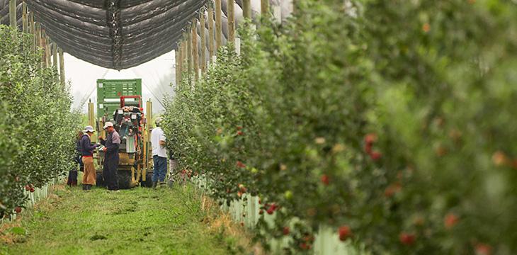 Come si coltivano le mele Fuji e Fujion a marchio Melapiù